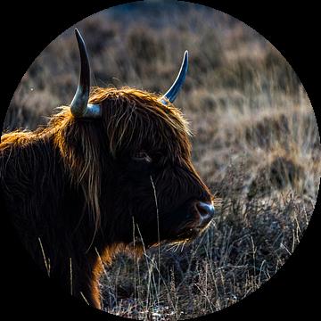 Schotse hooglander van ton vogels