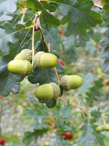 De vruchten van een eikenboom van