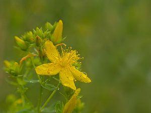 Fleur de Millepertuis sur Kristof Lauwers