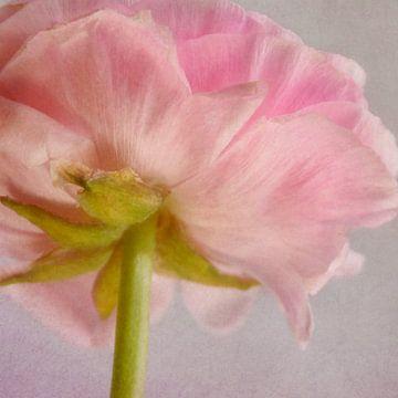 zarte Blüte von Claudia Moeckel