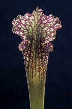 Up close (Sarracenia sp.) von Alessia Peviani