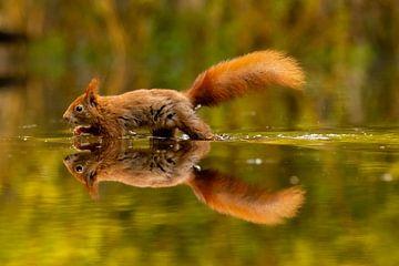 Image miroir d'un écureuil rouge sur Robin Scholte