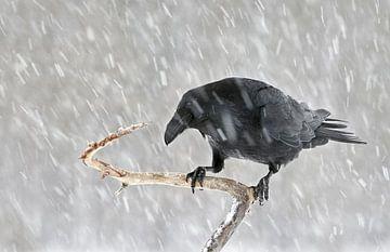 Raaf (Corvus corax) in een sneeuwbui van Beschermingswerk voor aan uw muur