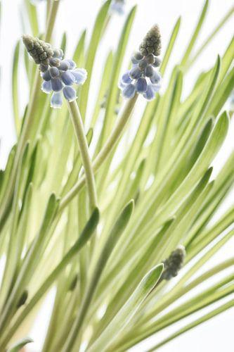 Blauwe druifjes van Ellen Driesse