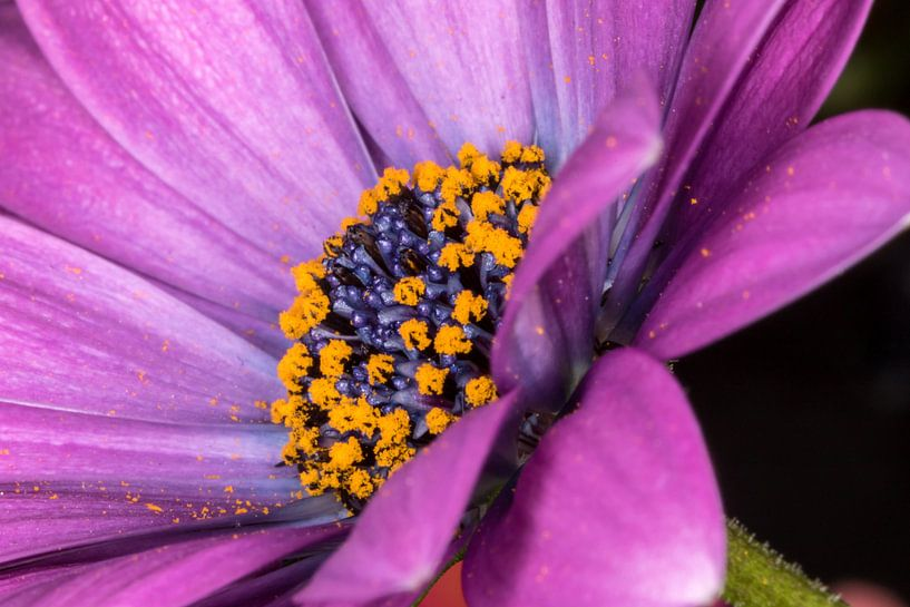 Purple van Nildo Scoop