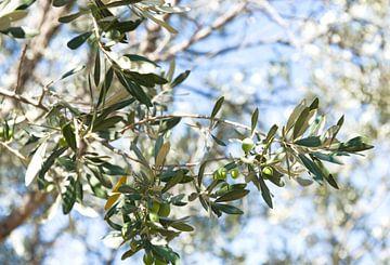 Olive, olives, olivier, branches d'olivier sur Liesbeth Govers voor omdewest.com