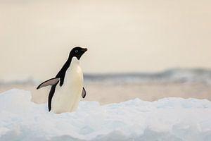 Adelie pinguin - antarctica van
