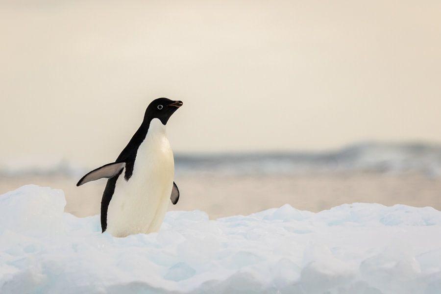 Adelie pinguin - antarctica