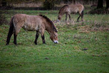 Wilde Paarden van Petro Luft