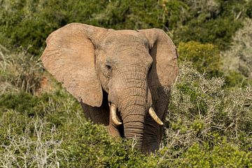 Elefant in grüner Umgebung Addo Elephant Park South Africa von John Stijnman