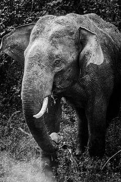 Schwarz / weißer srilankischer Elefant von Rebecca Gruppen