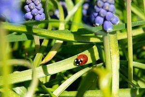 Lieveheersbeestje tussen de blauwe druifjes