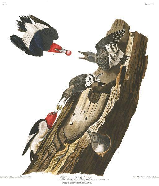 Rotkopfspecht von Birds of America