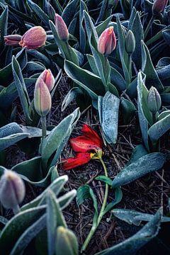 Holländische Tulpe im Frost von Chihong
