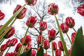 Tulpen van Michel Groen