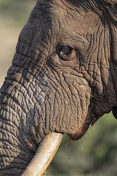 Afrikaanse olifant (Loxodonta africana) van Dirk Rüter