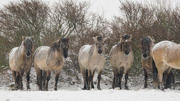 Konik-Pferde im Schnee von Dirk van Egmond