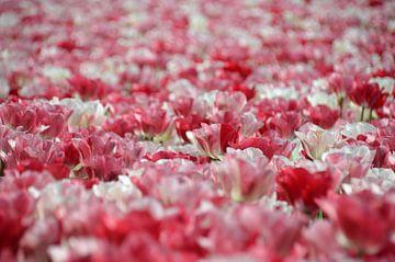 Tulpenfeld von Corinna Vollertsen