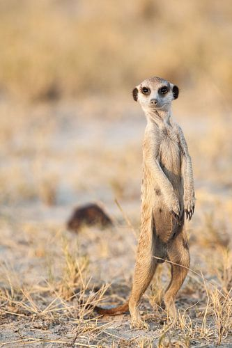Meerkat or suricate on the lookout in Botswana von Simone Janssen