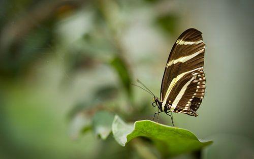 Zwart wit Zebra vlinder, Heliconius chartionius