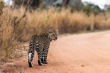 Luipaard - Panthera pardus van Rob Smit
