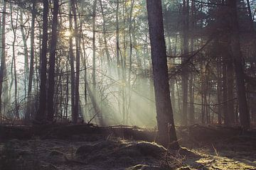 Binnenvallende zonnestralen in een mistig dennenbos. van Michel Roesink