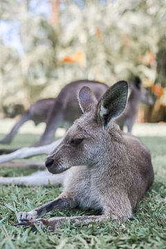 Lazy Kangaroo Afternoon von DsDuppenPhotography