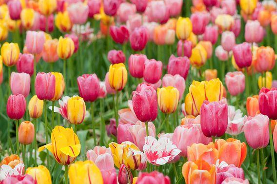 Tulpenveld in de Floriade