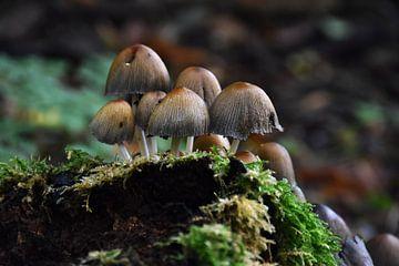 Paddestoelen / Mushrooms van Henk de Boer