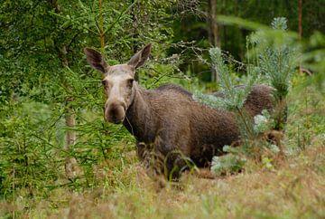 Eland in Zweden van Margreet Frowijn