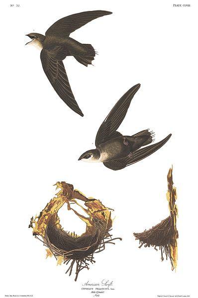 Gierzwaluw van Birds of America