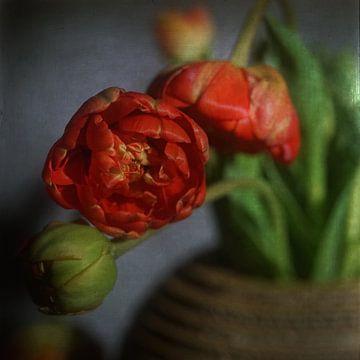 Rote Tulpe von Herman Peters