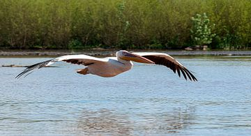 Roze pelikaan von Maarten Verhees