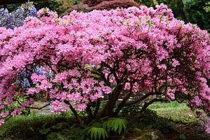 Roze boom van Chayenne Batenburg-Boom