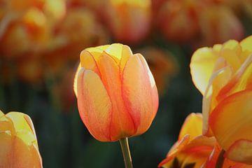 Einsame Tulpe - niederländische Schönheit von Charrel Jalving