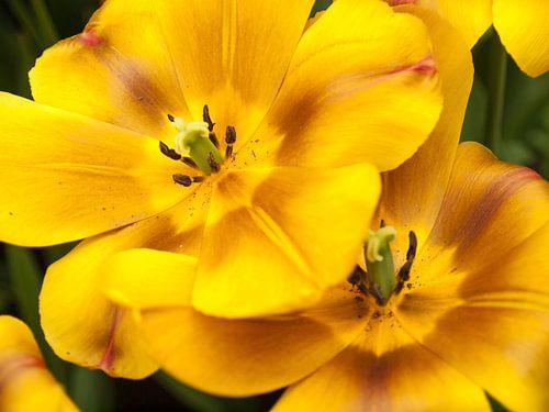 Show Tulips Yellow and Brown van