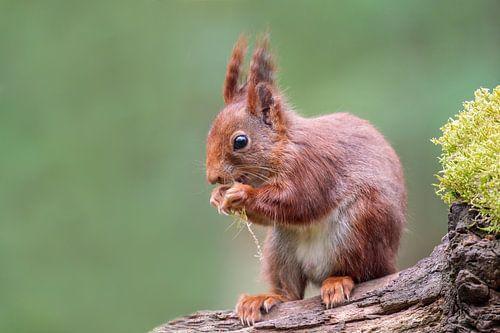 Rode eekhoorn van Teuni's Dreams of Reality