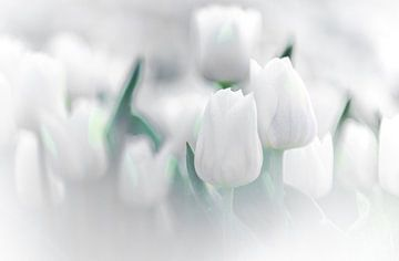 Witte Tulpen van Sebastiaan van Stam Fotografie