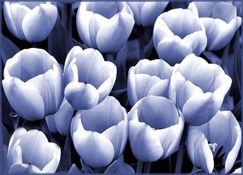 Tulpen in blauw-wit