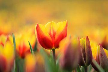 Tulpen van Kim van der Plas
