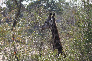 Zuid Afrikaans giraffe sur Jeroen Meeuwsen