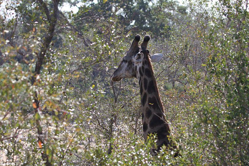 Zuid Afrikaans giraffe van Jeroen Meeuwsen