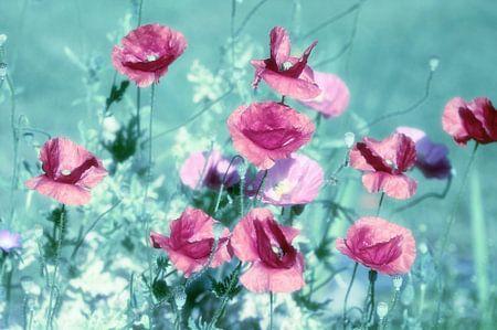 verspielte Mohnblumen Träume