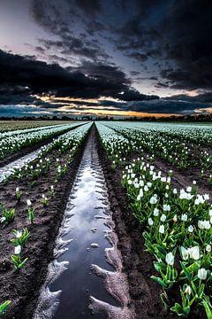Champs de tulipes néerlandaises sur AGAMI Photo Agency