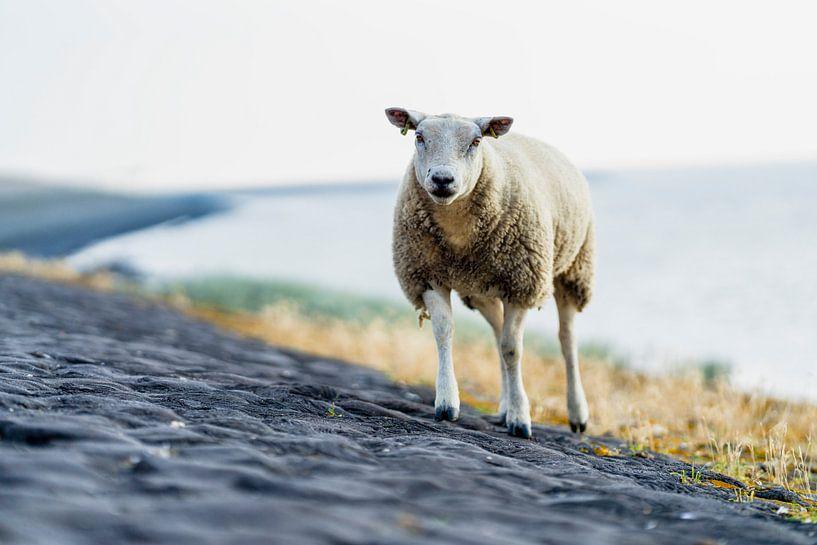 Een schaap op het strand bij de Waddenzee van Steven Dijkshoorn