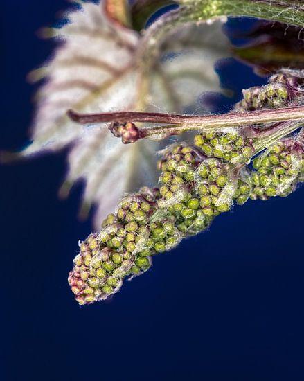 Ontluikende druiventros van Harrie Muis