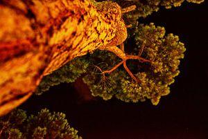 Pijnboom in de nacht