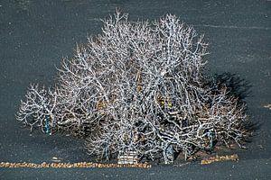 Vijgeboom in de winter op de lavagrond van Lanzarote