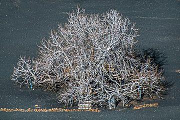 Vijgeboom in de winter op de lavagrond van Lanzarote von Harrie Muis