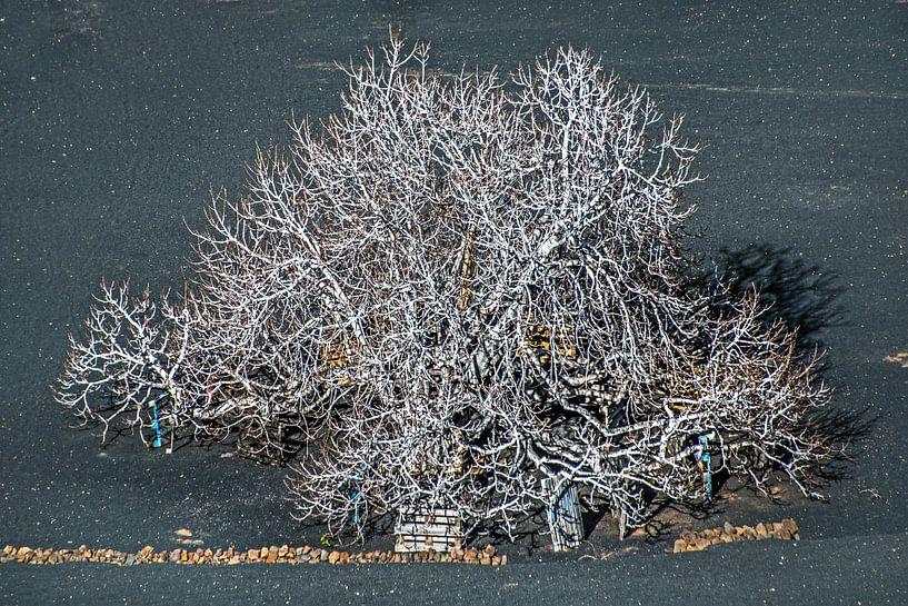 Vijgeboom in de winter op de lavagrond van Lanzarote van Harrie Muis